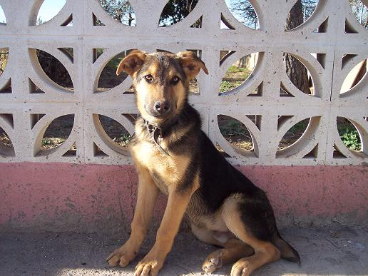 Pastor Alemán cachorro Pastor10