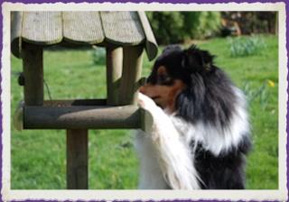 Le Shetland  Sheepdog,un amour de chien.