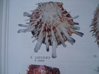 Merci de bien vouloir ré-identifier ces deux spondyles S.echinosus probables Castus10