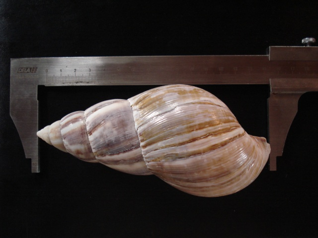 Lissachatina fulica (Férussac, 1821)  Dsc06136