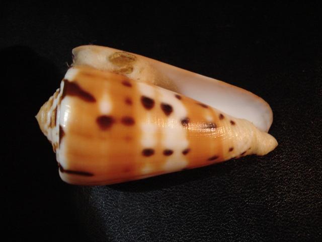Conus (Pionoconus) barthelemyi  Bernardi, 1861 Dsc06231