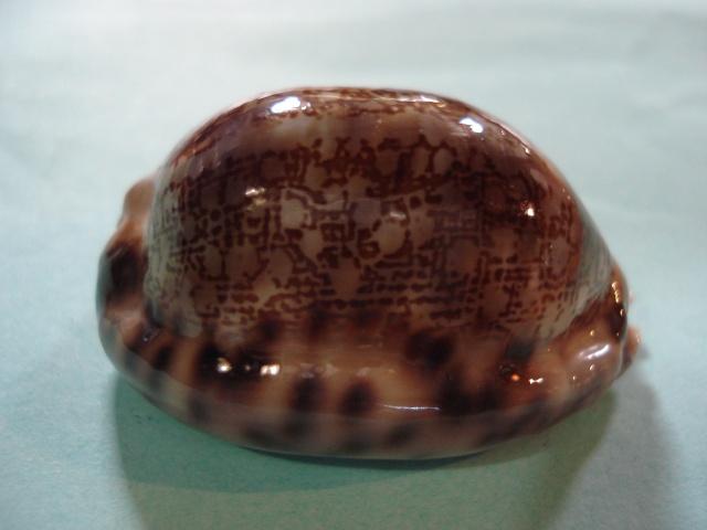 Mauritia arabica asiatica f. gibba  - Cohen, 1949  Dsc06319