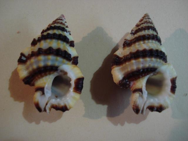 Gyrineum gyrinum - (Linnaeus, 1758) Dsc06347