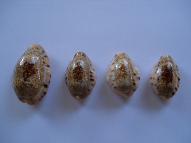 Erronea caurica corrosa - (Gronovius, 1781) voir Erronea caurica - (Linnaeus, 1758) Dsc06410