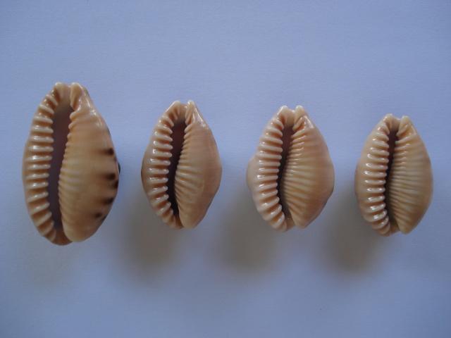 Erronea caurica corrosa - (Gronovius, 1781) voir Erronea caurica - (Linnaeus, 1758) Dsc06411