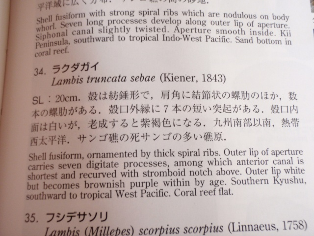 Lambis truncata sebae - (Kiener, 1843) Pb040010