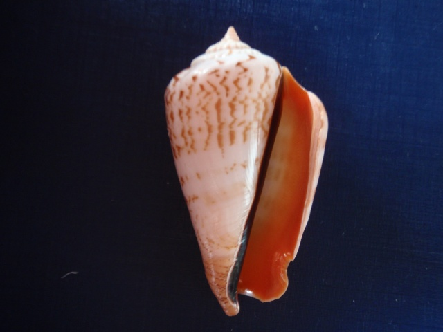 Conomurex luhuanus - (Linnaeus, 1758) Pb220011