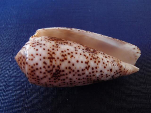 Conus (Pionoconus) stercusmuscarum   Linnaeus, 1758 Pb270014