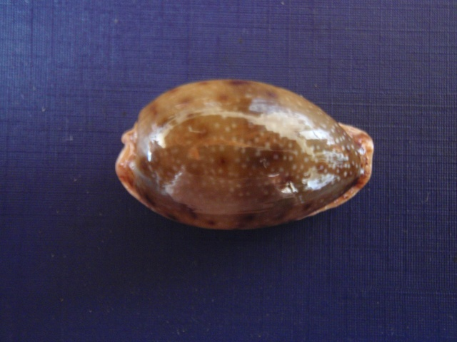Cypraea Pb300010