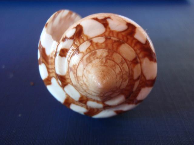 Conus (Cylinder) ammiralis  Linnaeus, 1758 Pc030020