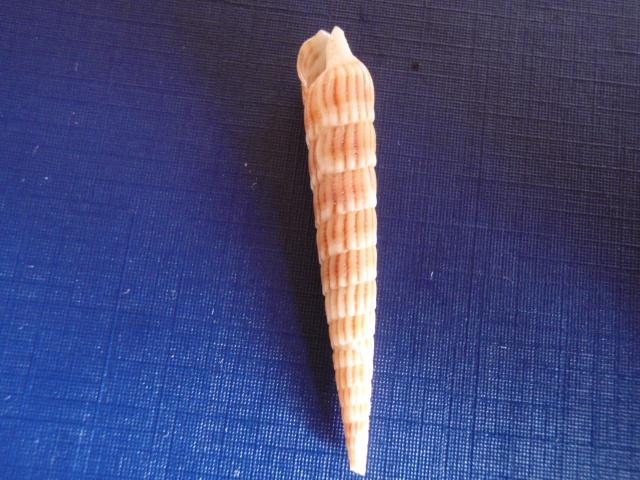 Myurella undulata - (Gray, 1834) Pc070013