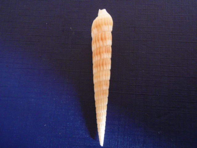 Myurella undulata - (Gray, 1834) Pc070014