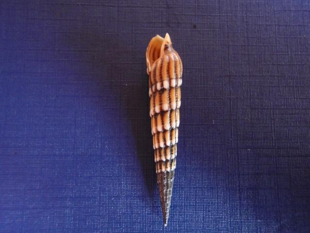 Myurella undulata - (Gray, 1834) Pc070023