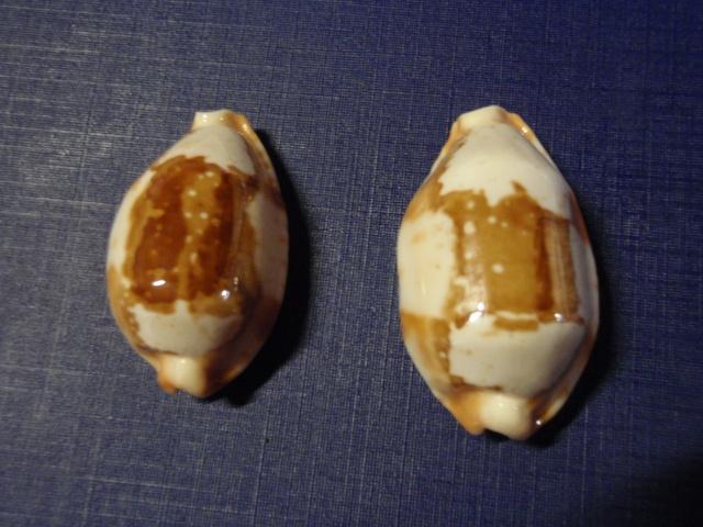 Bistolida stolida crossei - (Marie, 1869) Pc080023