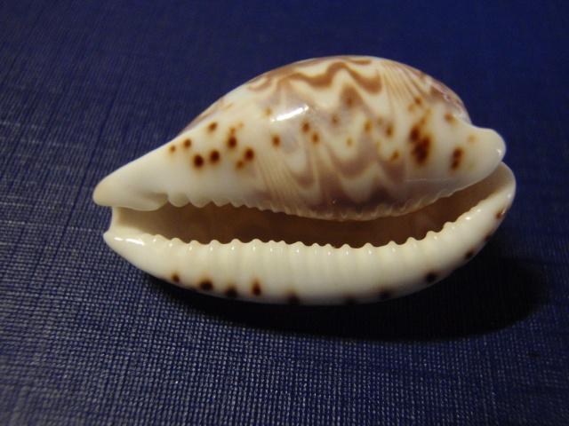 Palmadusta diluculum diluculum - (Reeve, 1845) Pc080028