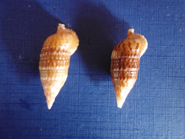 Cerithium pacificum - Houbrick, 1992 Pc210012