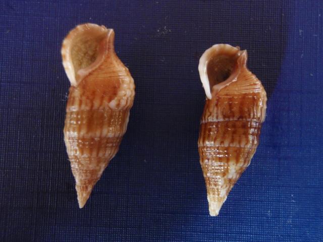 Cerithium pacificum - Houbrick, 1992 Pc210013
