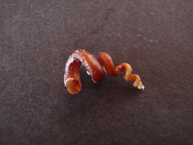 Siliquariidae - Tenagodus anguinus - (Linnaeus, 1758) Pc300019