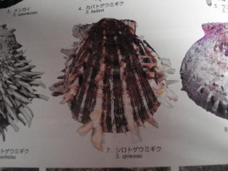 Merci de bien vouloir ré-identifier ces deux spondyles S.echinosus probables Spinos11