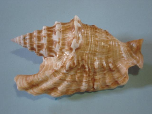 Strombidae Tricornis oldi - (Emerson, 1965)  Stromb12