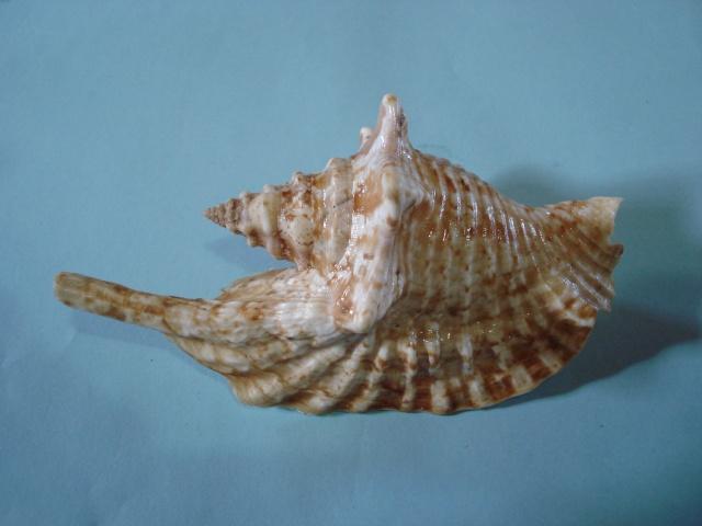 Strombidae Aliger gallus - (Linnaeus, 1758) Stromb14