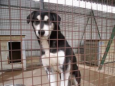 Femelle type husky, entre 2 et 5 ans, fourrière de Niort (79)  2d785e10