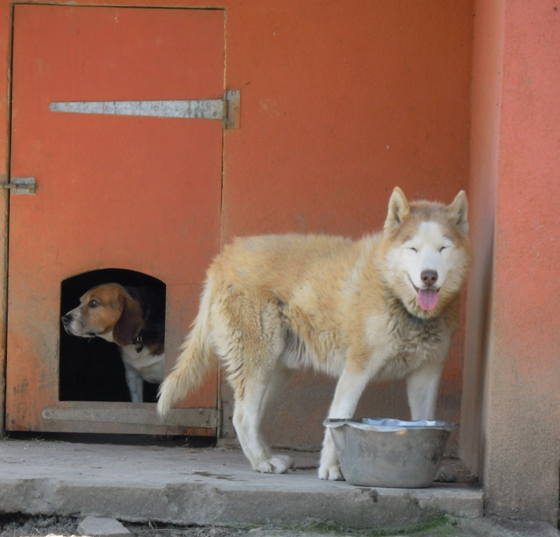DIX, superbe husky roux, 14 ans ok congénères REF (58) Dix10