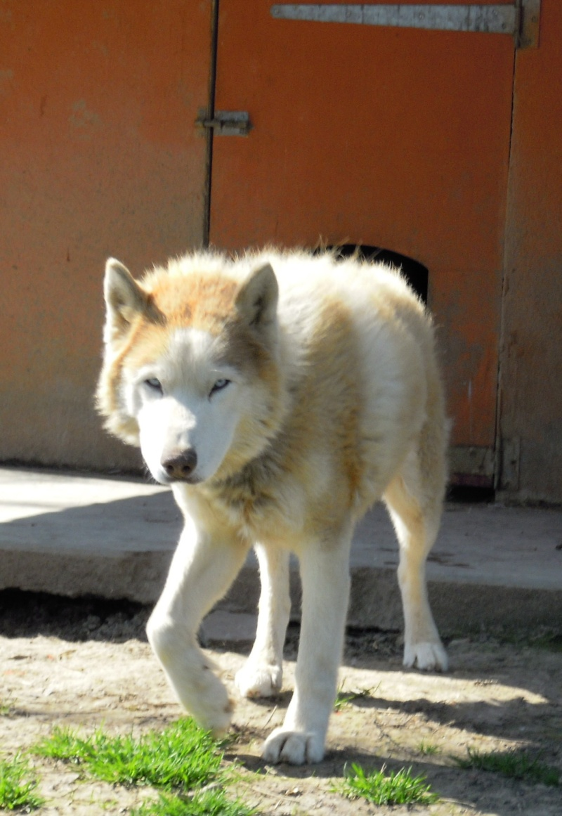 DIX, superbe husky roux, 14 ans ok congénères REF (58) Dix110