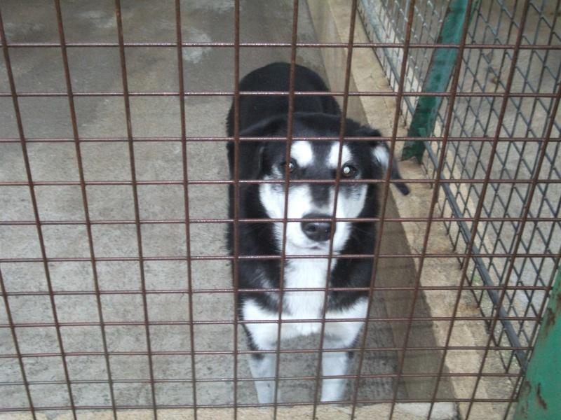 Femelle type husky, entre 2 et 5 ans, fourrière de Niort (79)  Photo_10