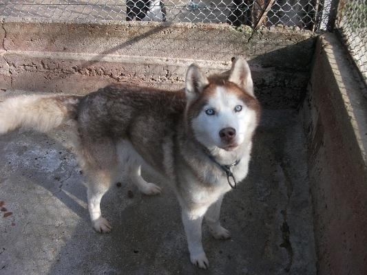 SCOTT Husky sibérien,roux yeux bleus,très gentil,7/2001  REF:26 DECEDE Scott_10