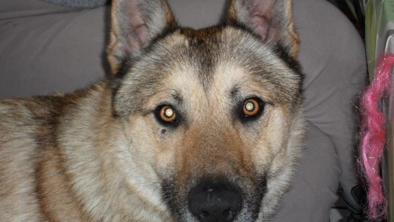 Wolf 1 ans 1/2 URGENT avant retour en SPA Wolf110