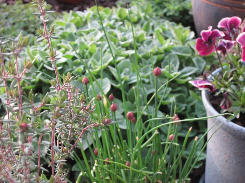 Edible Flowers April_31