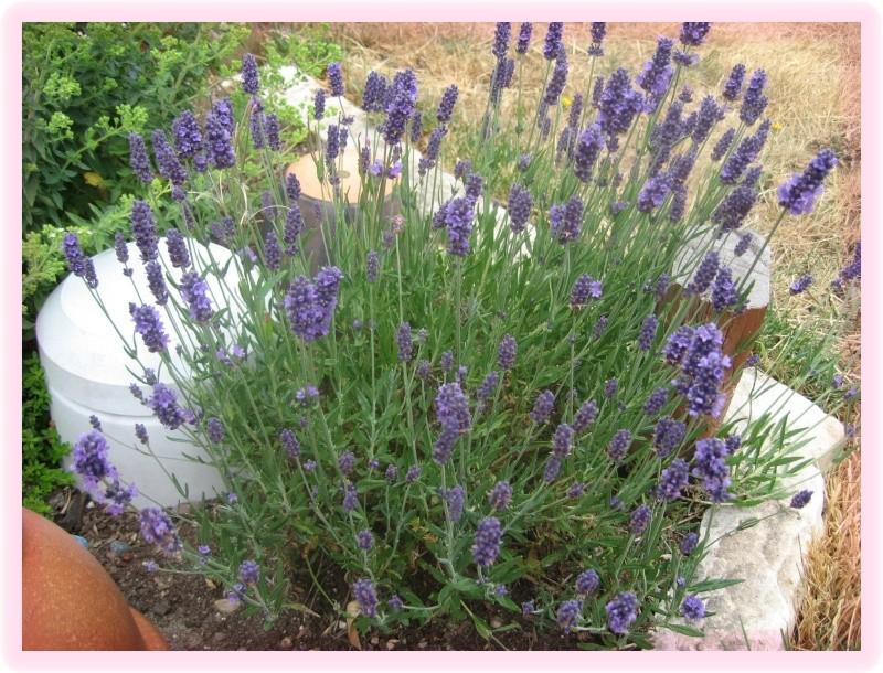 Lavender Scones July_210