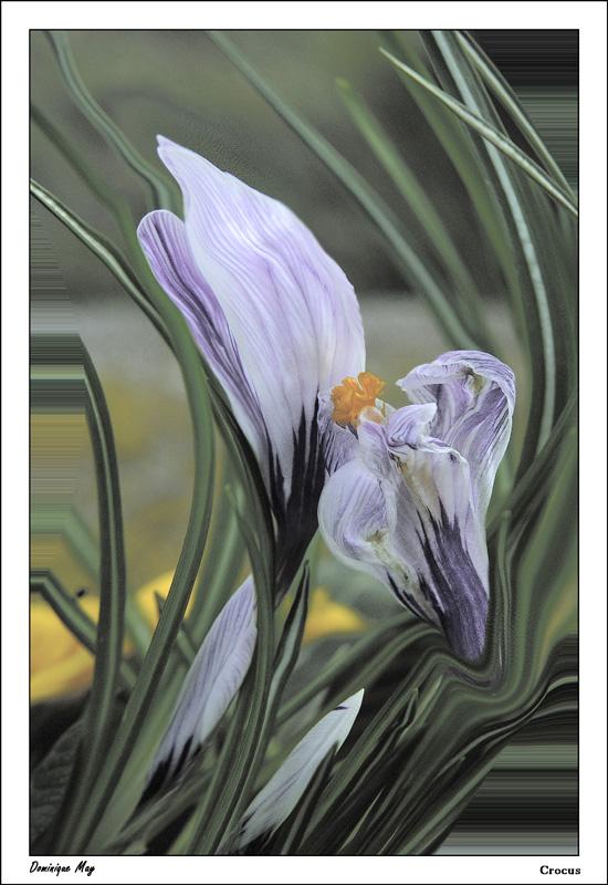 Concours du mois d'avril 2010. Thème : Les premières fleurs du printemps Crocus10