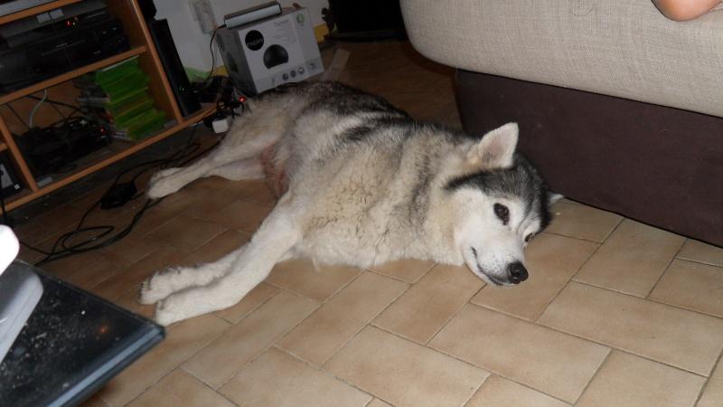 Sounde husky femelle de 7 ans ancienne maltraitée dpt 13 DECEDEE Sam_3811