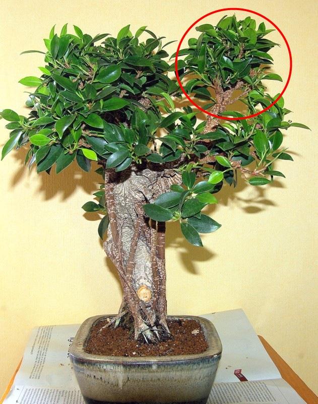 Besoin de conseils au sujet des Ficus Rétusa Fical210