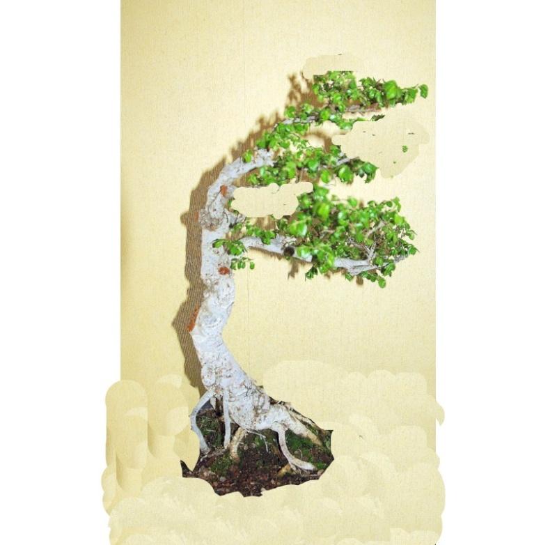 Après mes Ficus , voici mon Orme ( de Sibérie ) Ormala10
