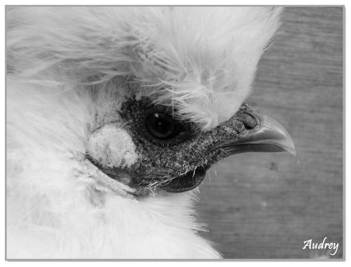 Poule noir et blanc Poule_11