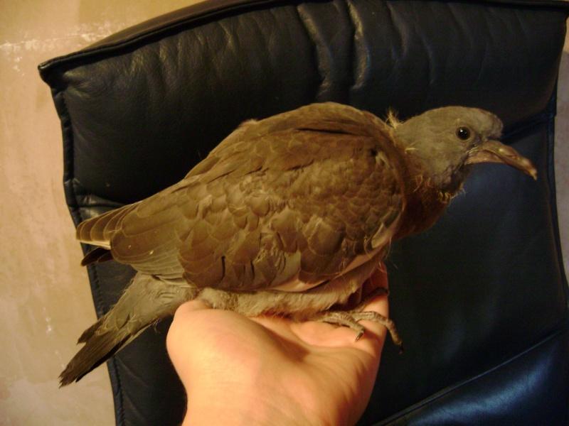 Pigeon illness Baby_w14