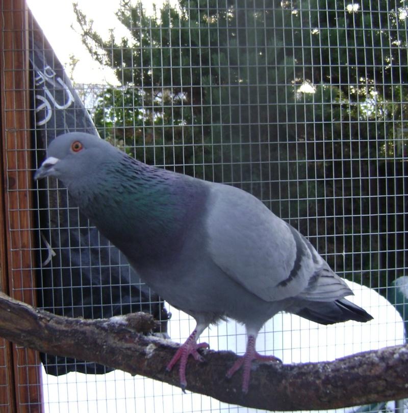 Pigeon illness Cammy_10