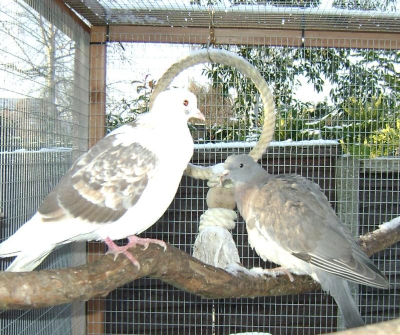 Pigeon illness Woody_10