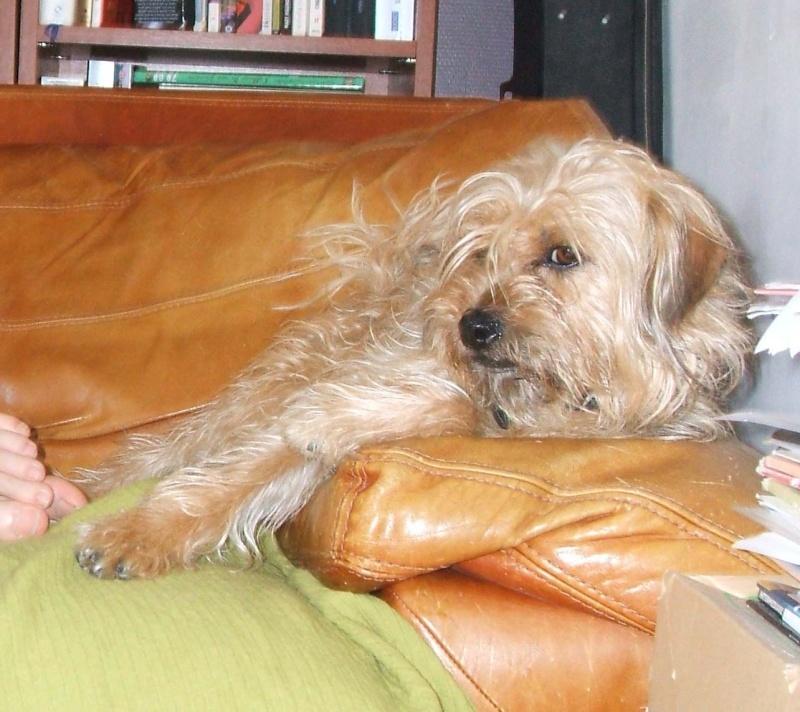 Clochard, joli york X griffon beige (un peu plus grand qu un york) 1 an et demi (45) Dscf0021