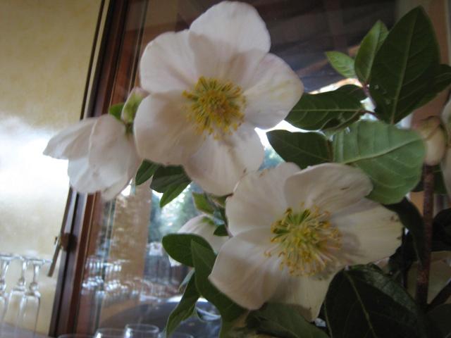 Helleborus niger ou Rose de noel ou Hellebore - Page 4 2010_d11