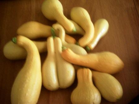 First harvest of 2010 - Zuchinni & Squash Pict0046