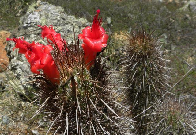 Mammillaria halei Baja-111
