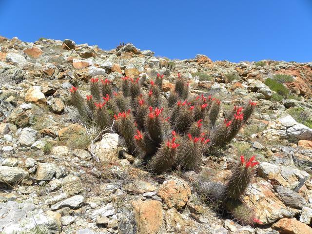 Mammillaria halei Baja-112