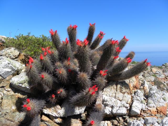 Mammillaria halei Baja-113