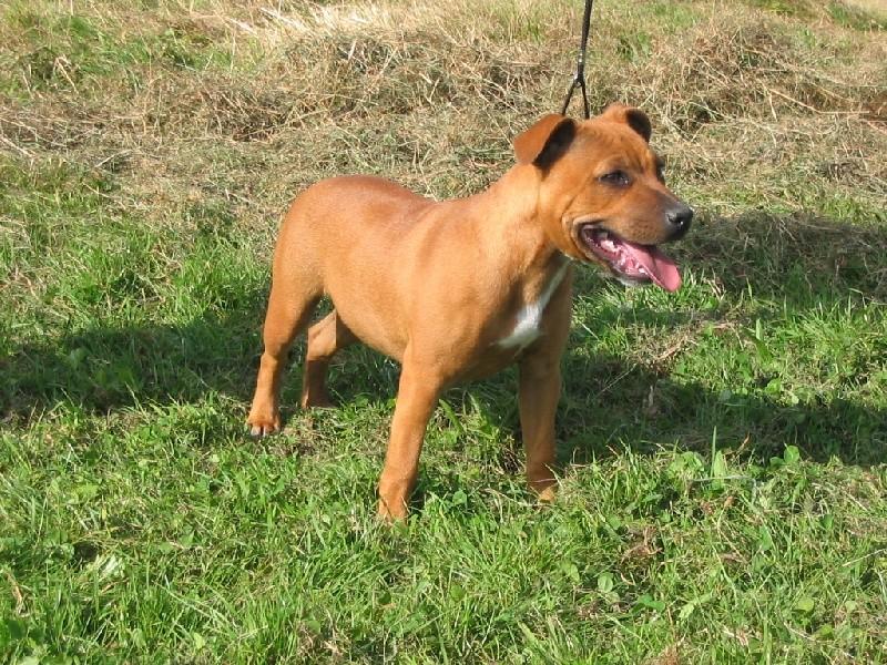 Hélyos, mon Staffordshire Bull-Terrier 69665110