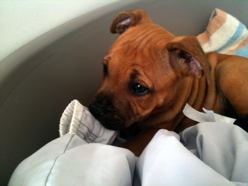 Hélyos, mon Staffordshire Bull-Terrier Img_0520