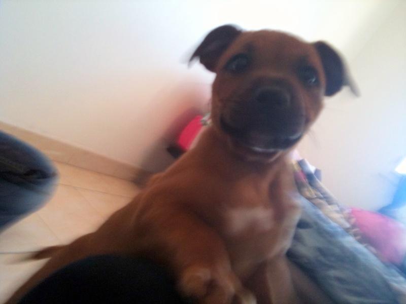 Hélyos, mon Staffordshire Bull-Terrier Img_0611